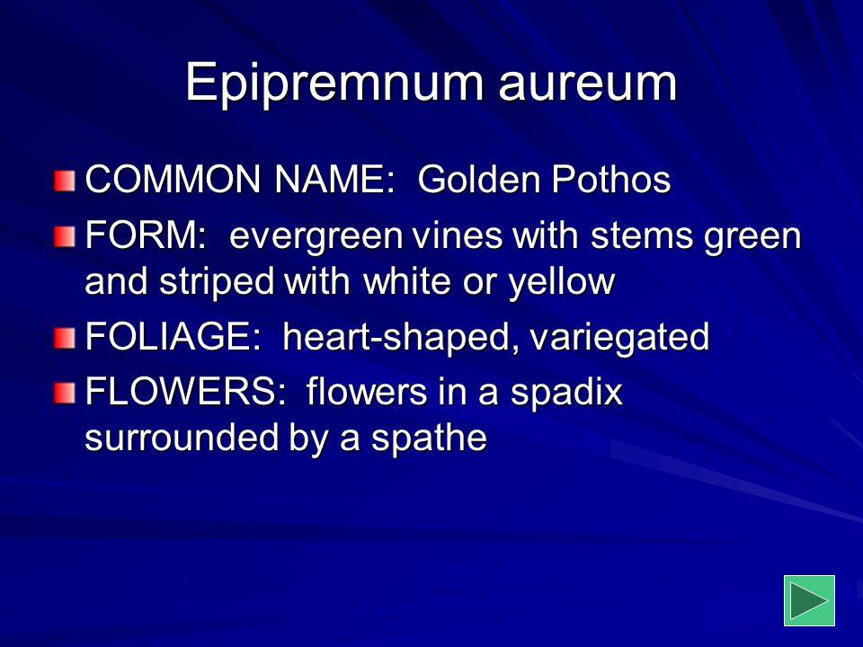 Epipremnum aureum COMMON NAME: Golden Pothos