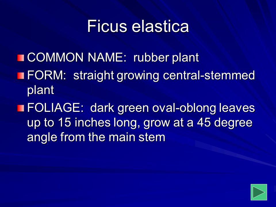 Ficus elastica COMMON NAME: rubber plant