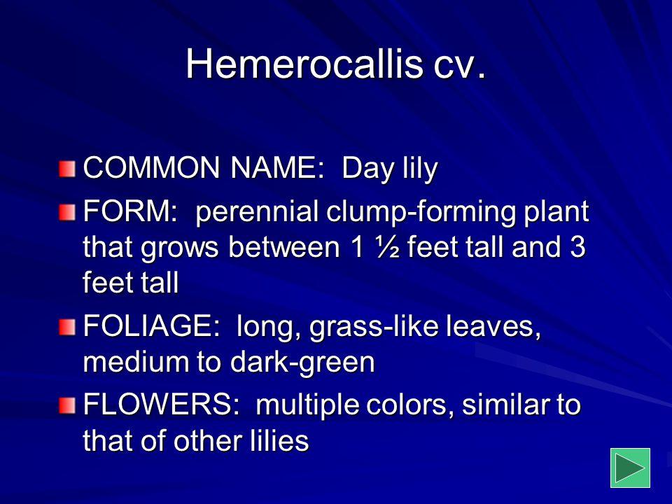 Hemerocallis cv. COMMON NAME: Day lily