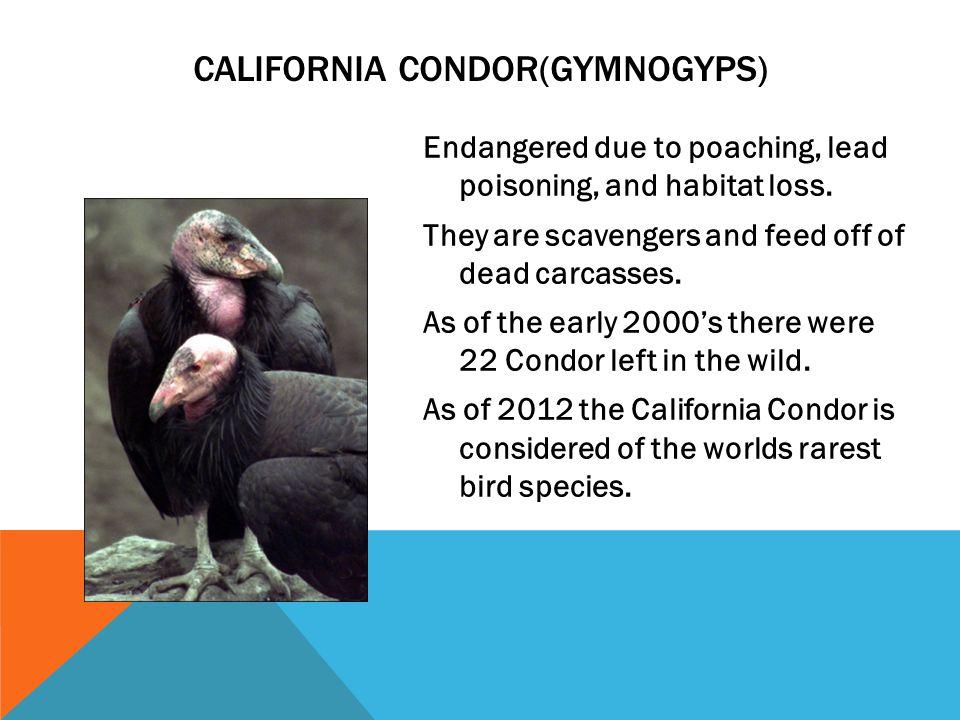 California Condor(Gymnogyps)