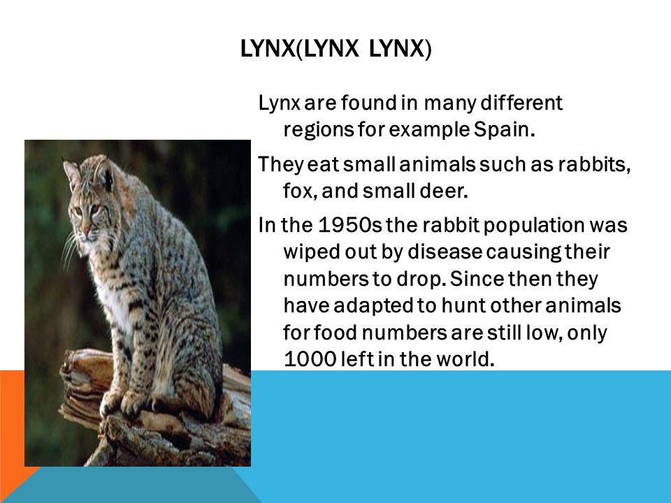 Lynx(Lynx Lynx)