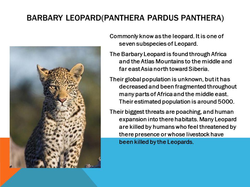 Barbary Leopard(Panthera Pardus Panthera)