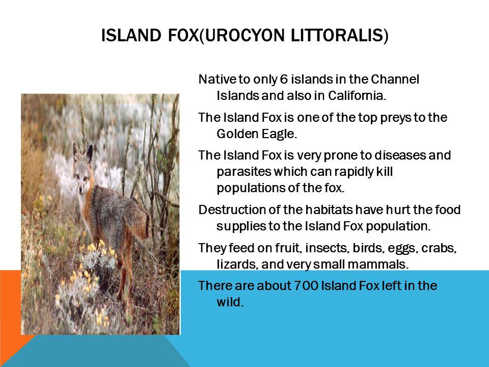 Island Fox(Urocyon Littoralis)