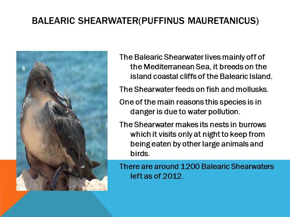 Balearic Shearwater(Puffinus mauretanicus)