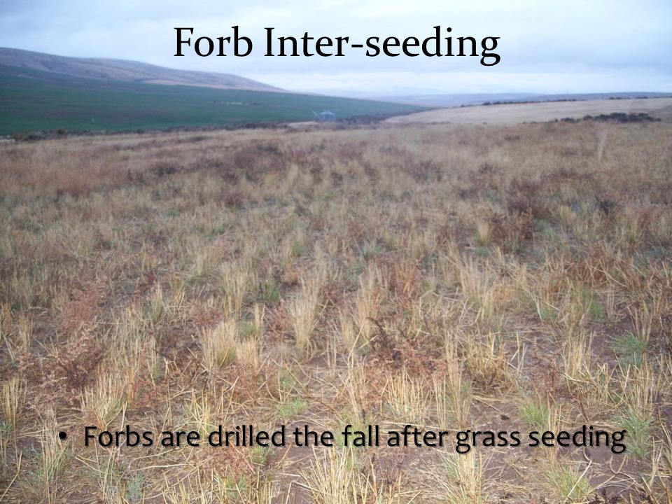 Forb Inter-seeding Forbs are drilled the fall after grass seeding
