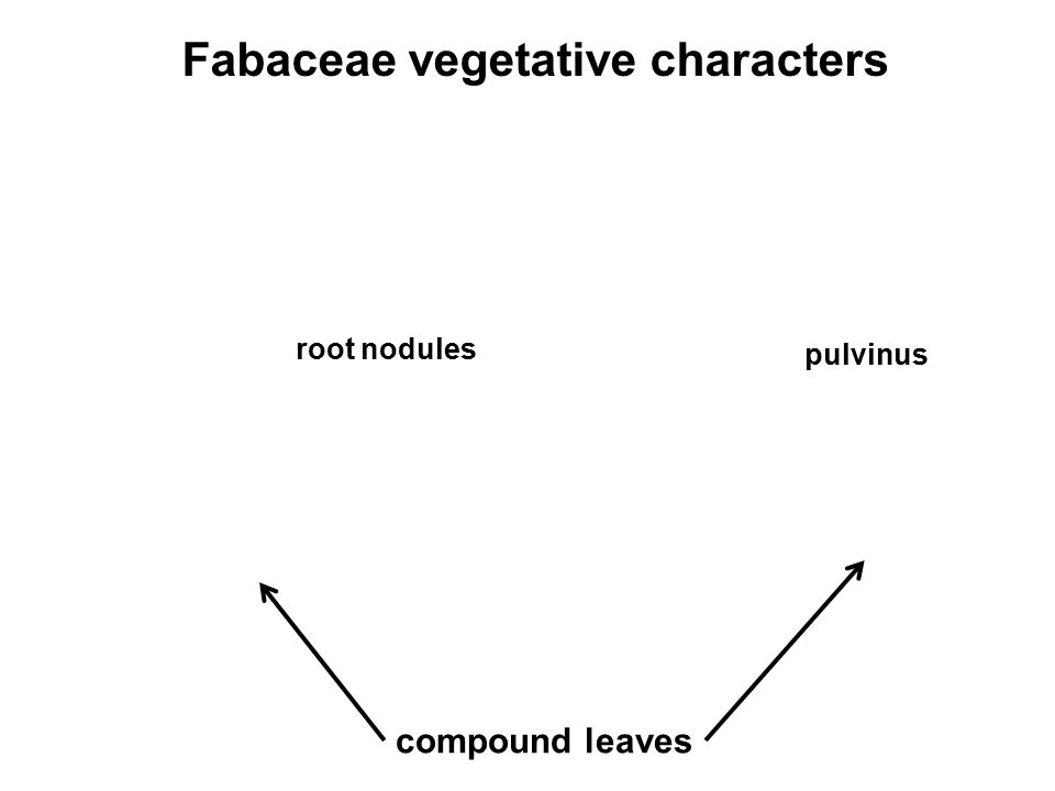 Fabaceae vegetative characters