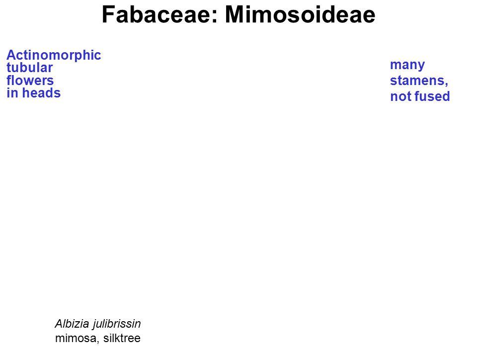 Fabaceae: Mimosoideae