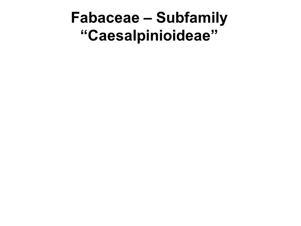 Fabaceae – Subfamily Caesalpinioideae