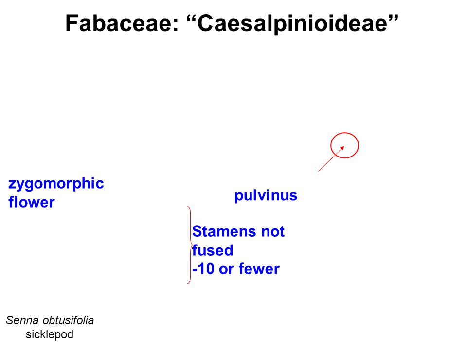 Fabaceae: Caesalpinioideae