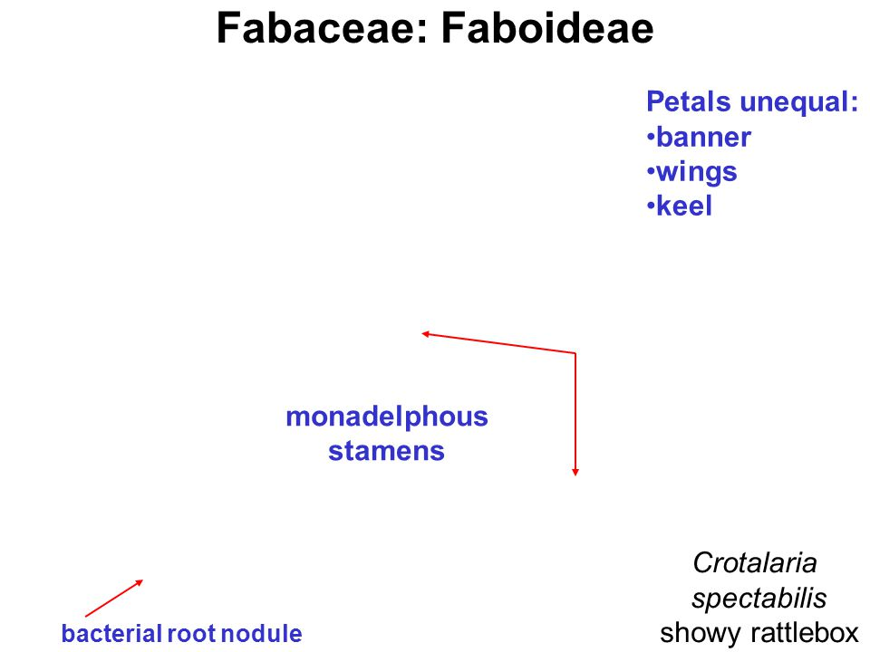 Fabaceae: Faboideae Petals unequal: banner wings keel