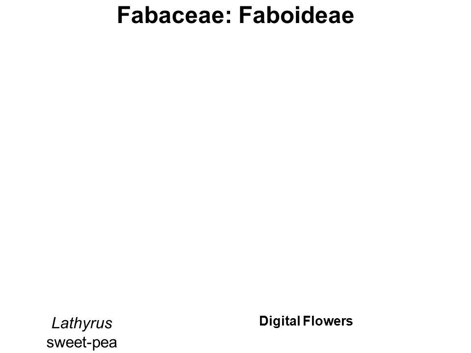 Fabaceae: Faboideae Lathyrus sweet-pea Digital Flowers