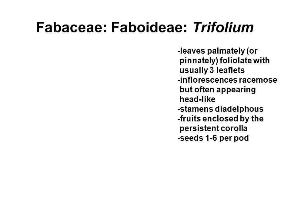 Fabaceae: Faboideae: Trifolium