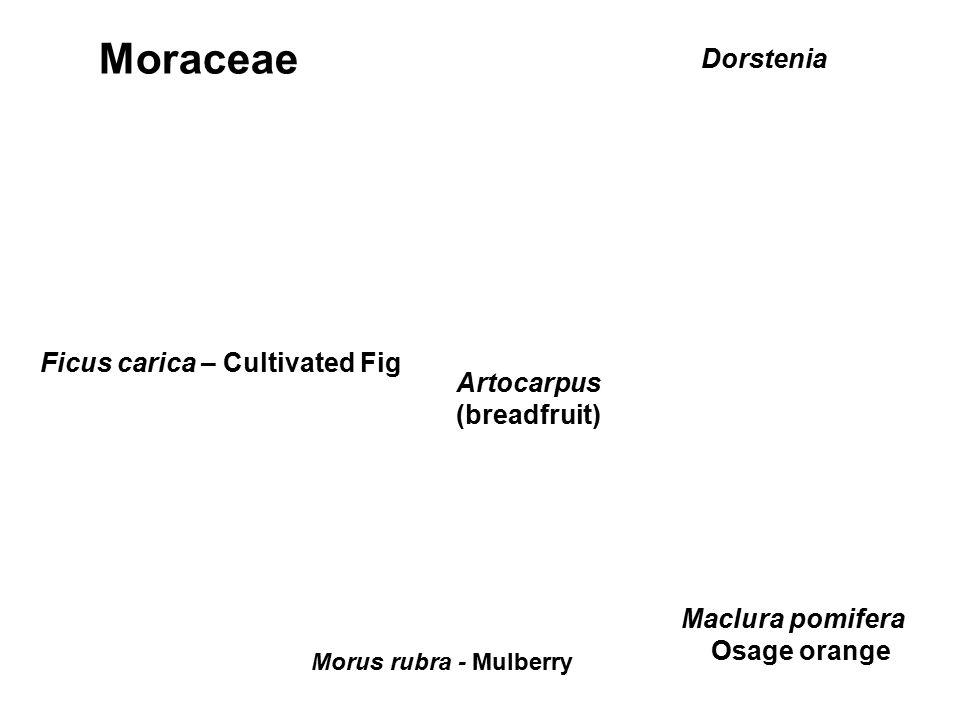 Moraceae Dorstenia Ficus carica – Cultivated Fig Artocarpus