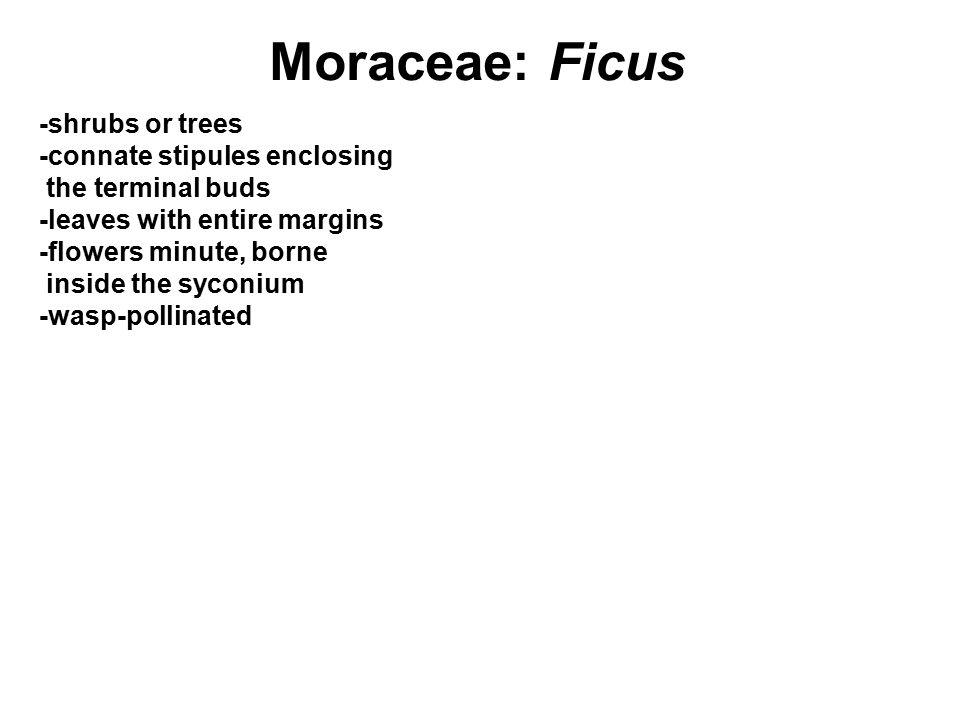 Moraceae: Ficus -shrubs or trees -connate stipules enclosing