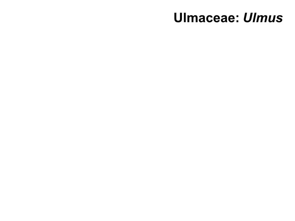Ulmaceae: Ulmus