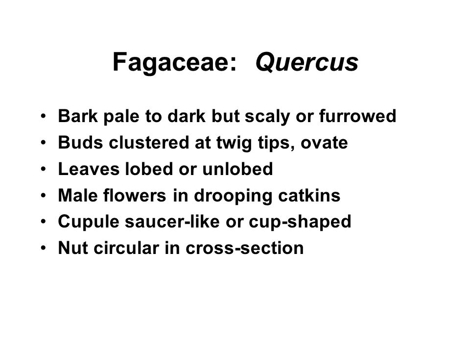 Fagaceae: Quercus Bark pale to dark but scaly or furrowed