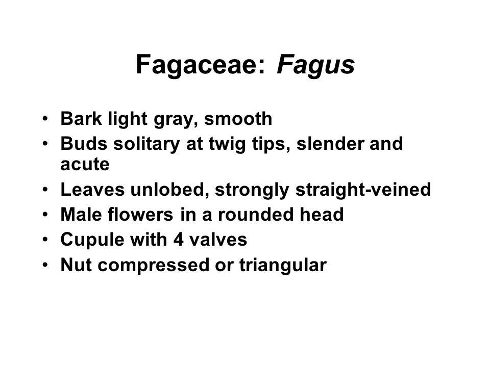 Fagaceae: Fagus Bark light gray, smooth