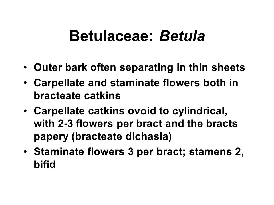 Betulaceae: Betula Outer bark often separating in thin sheets