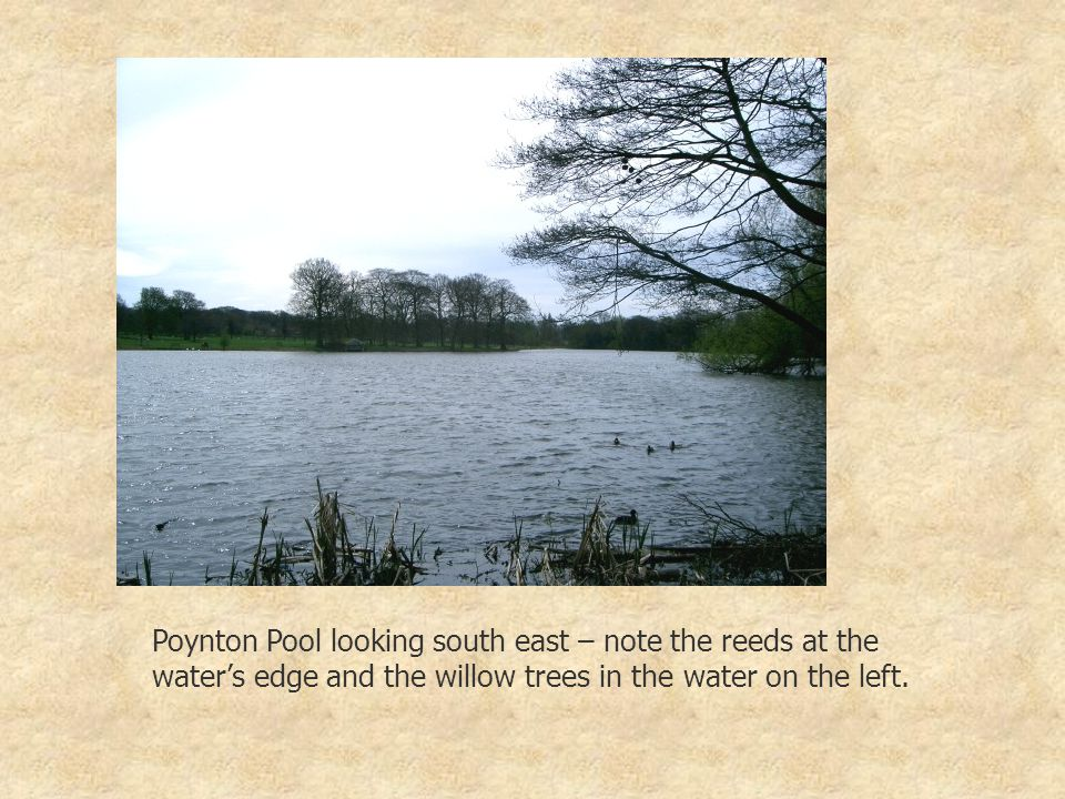 Poynton Pool looking south east – note the reeds at the water's edge and the willow trees in the water on the left.