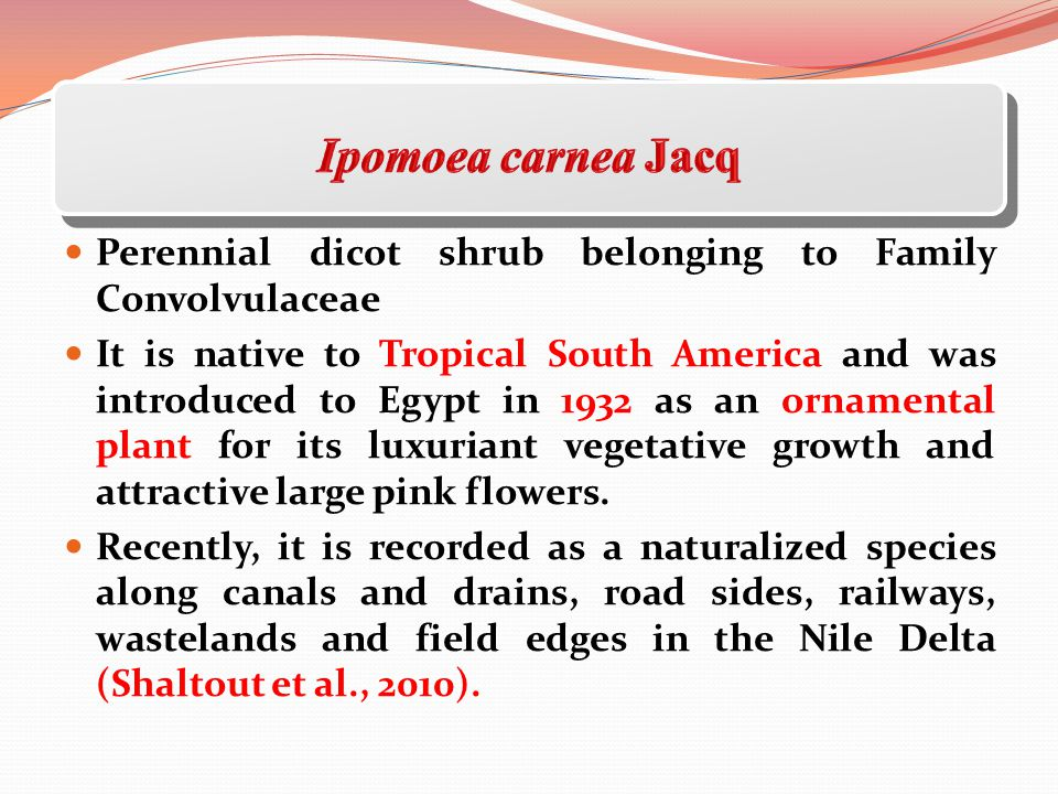 Ipomoea carnea Jacq Perennial dicot shrub belonging to Family Convolvulaceae.