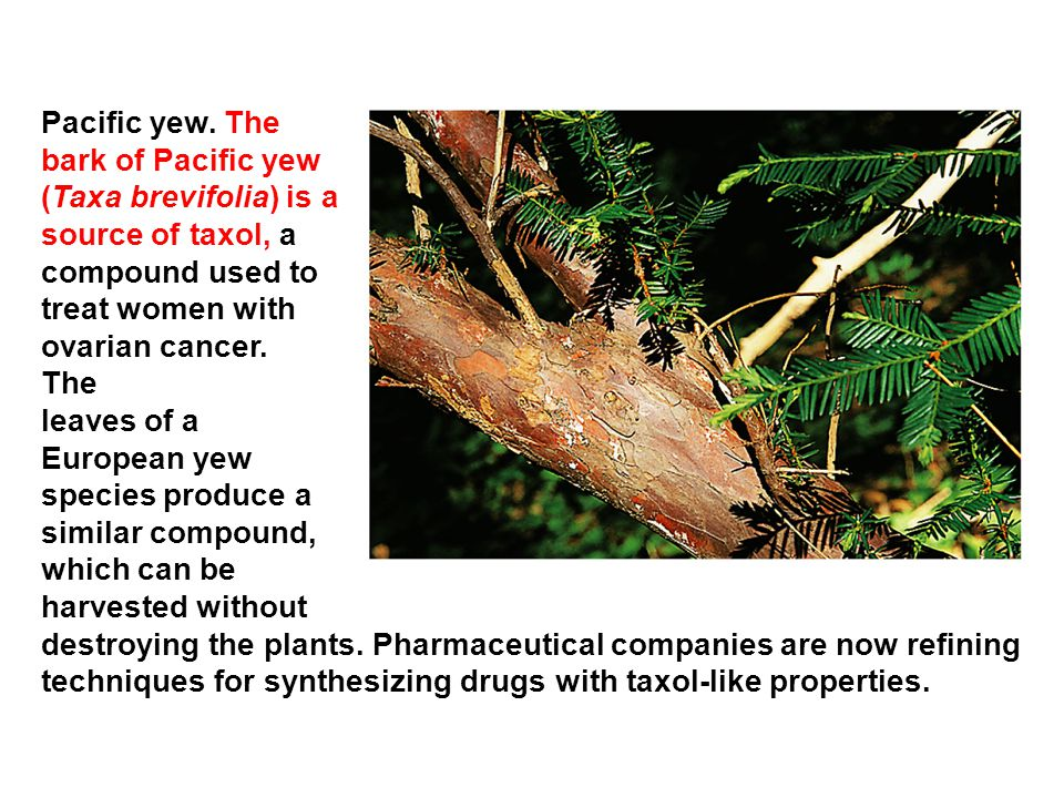 Pacific yew. The bark of Pacific yew. (Taxa brevifolia) is a. source of taxol, a. compound used to.
