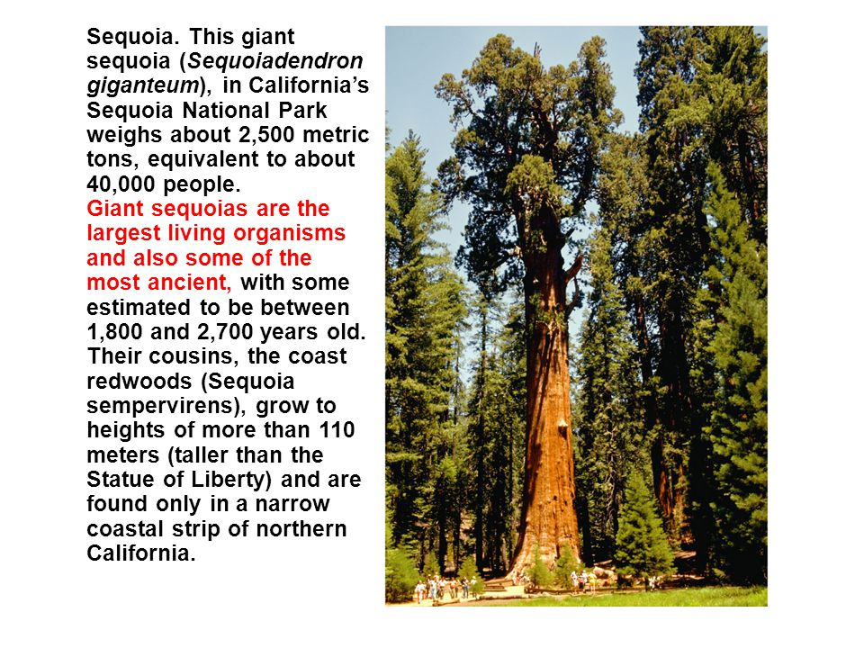 Sequoia. This giant sequoia (Sequoiadendron giganteum), in California's Sequoia National Park weighs about 2,500 metric tons, equivalent to about 40,000 people.