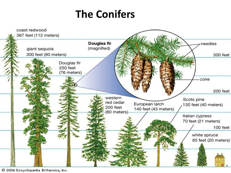The Conifers