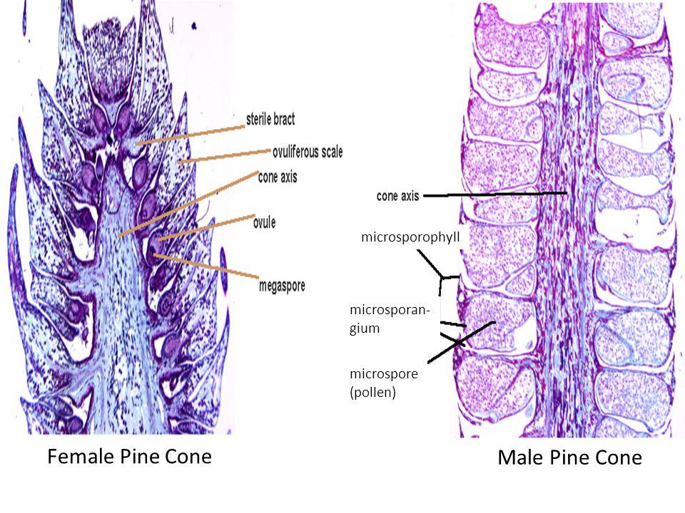 Female Pine Cone Male Pine Cone microsporophyll microsporan- gium