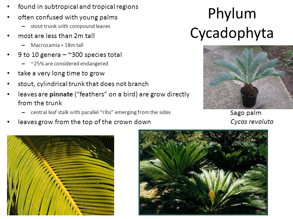 Phylum Cycadophyta found in subtropical and tropical regions