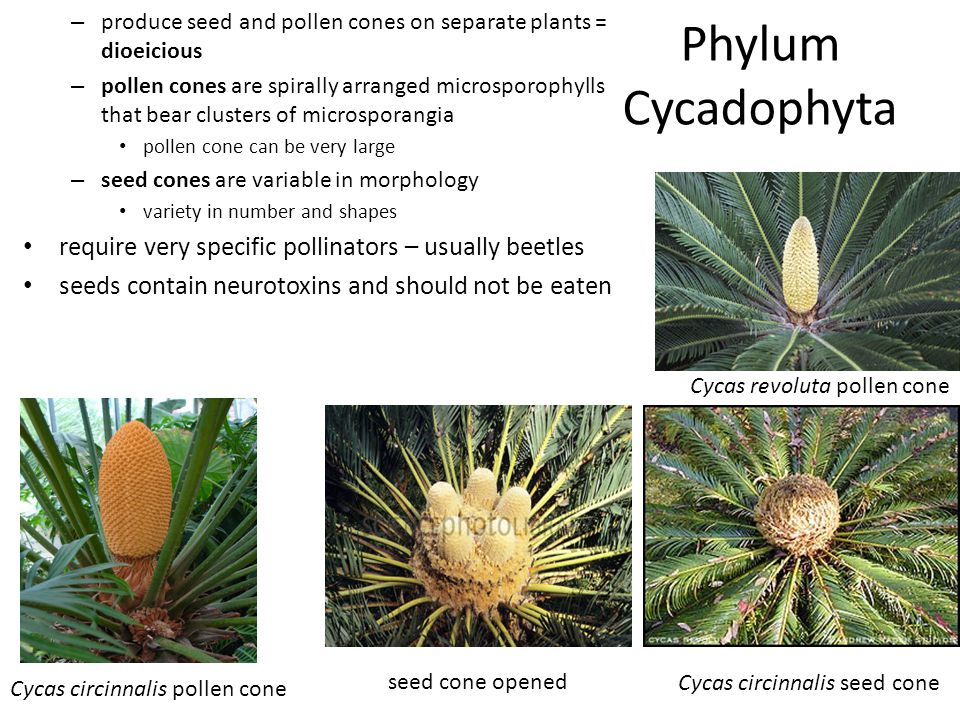 Phylum Cycadophyta require very specific pollinators – usually beetles