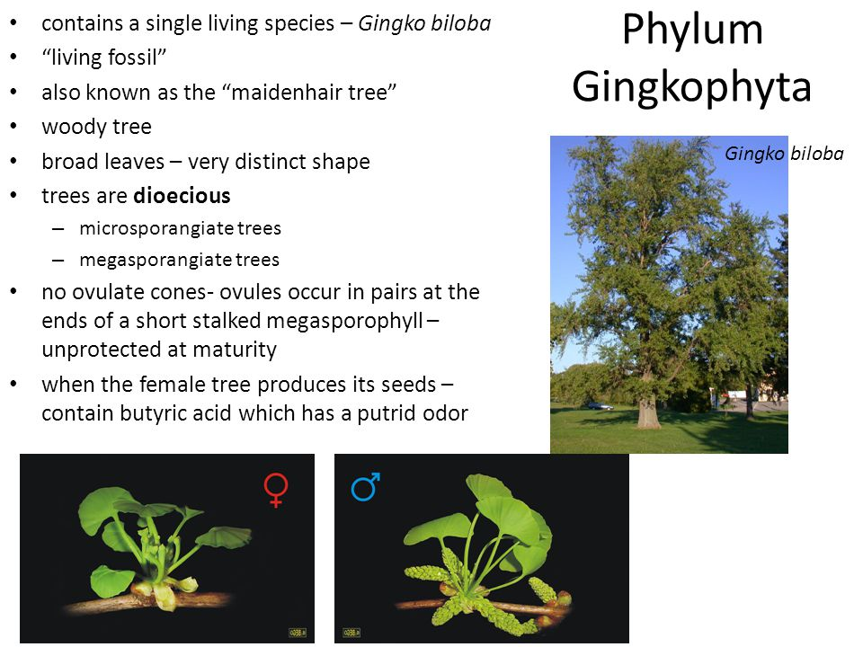 Phylum Gingkophyta contains a single living species – Gingko biloba