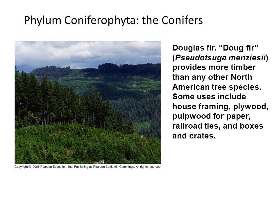 Phylum Coniferophyta: the Conifers