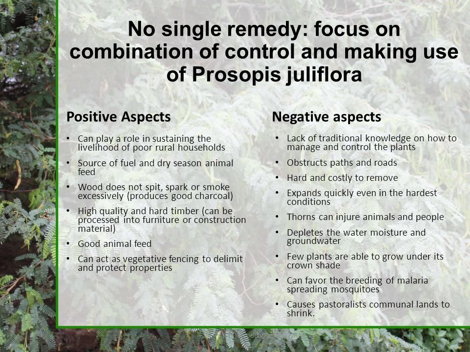 No single remedy: focus on combination of control and making use of Prosopis juliflora