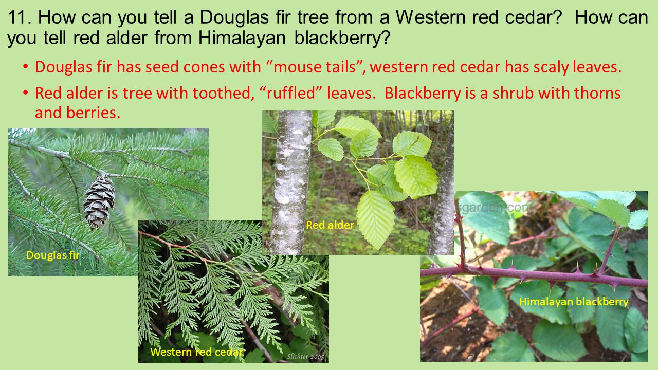 11. How can you tell a Douglas fir tree from a Western red cedar