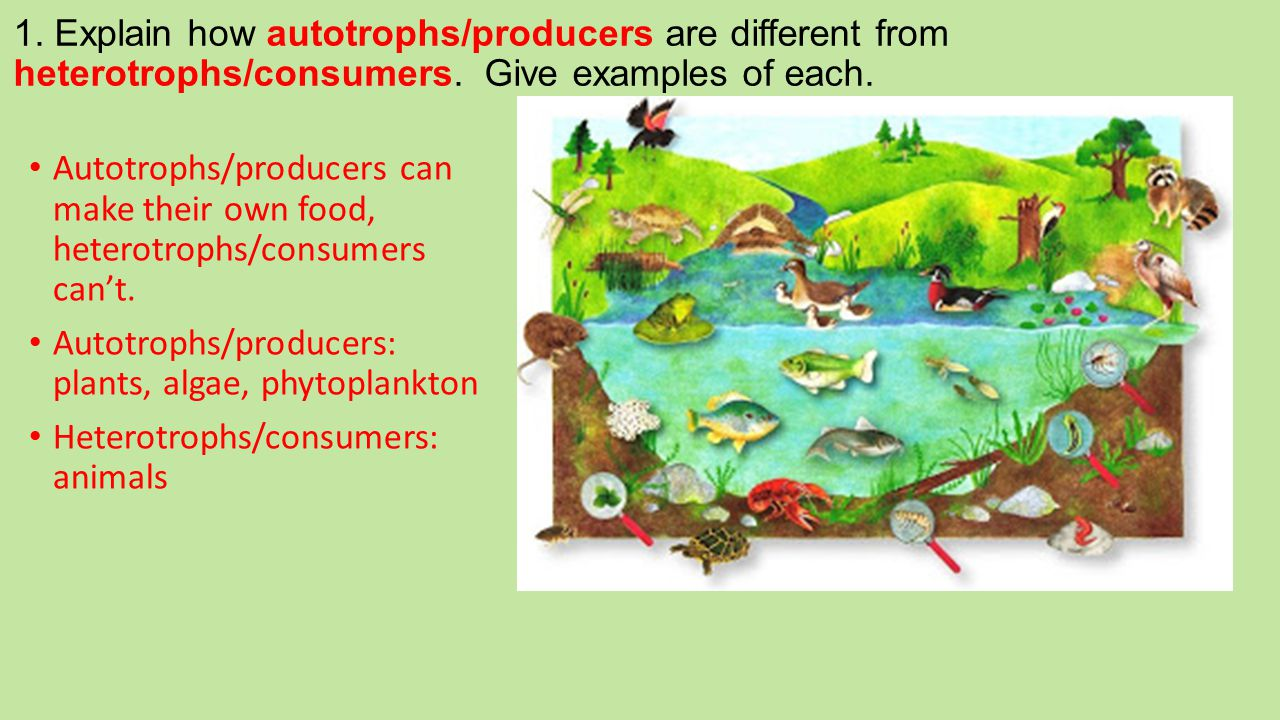 1. Explain how autotrophs/producers are different from heterotrophs/consumers. Give examples of each.