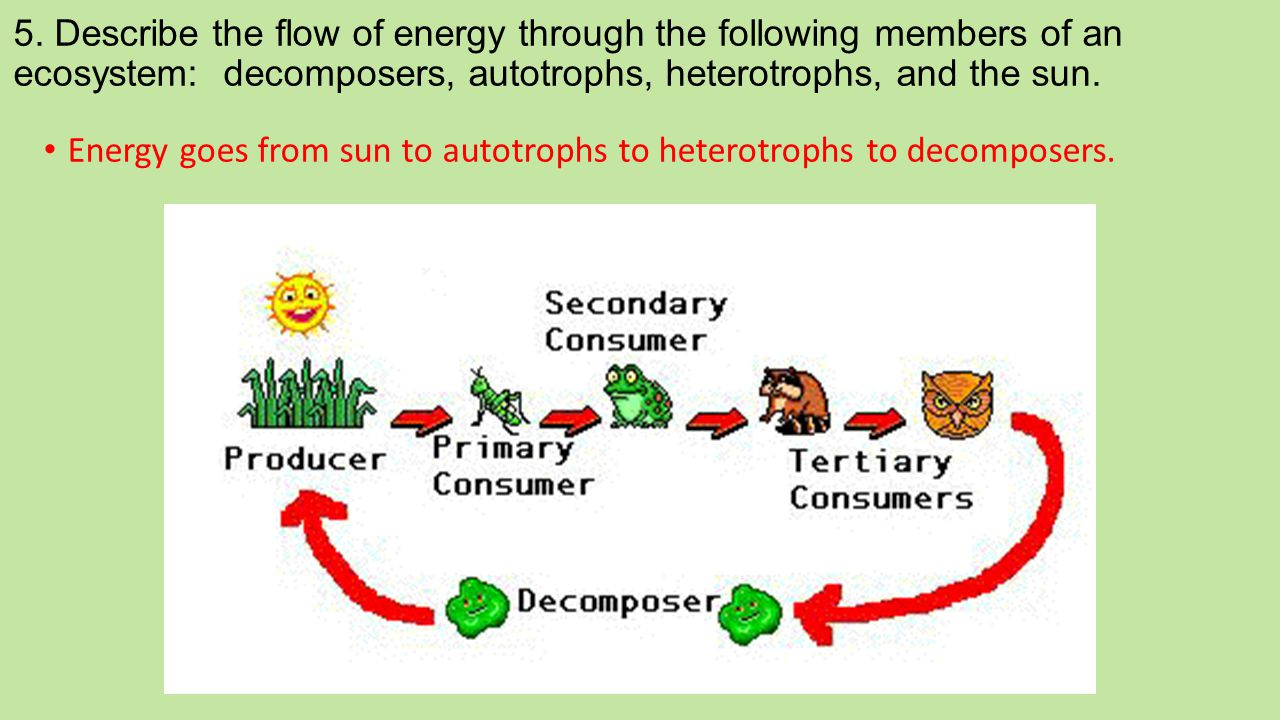 5. Describe the flow of energy through the following members of an ecosystem: decomposers, autotrophs, heterotrophs, and the sun.