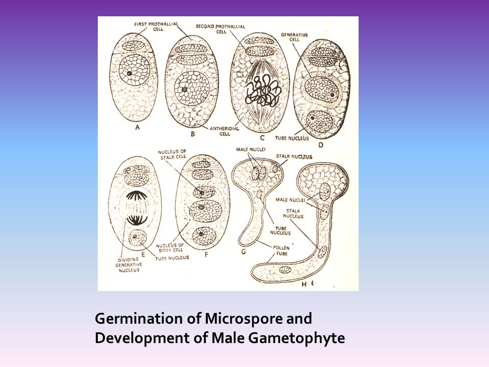 Germination of Microspore and Development of Male Gametophyte