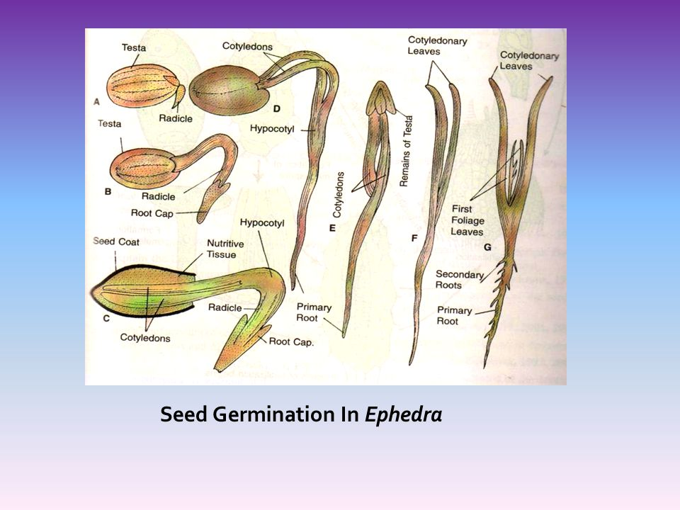 Seed Germination In Ephedra