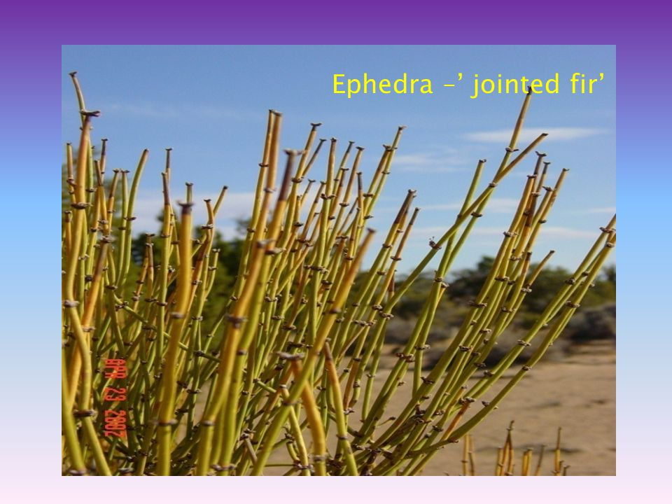 Ephedra –' jointed fir'