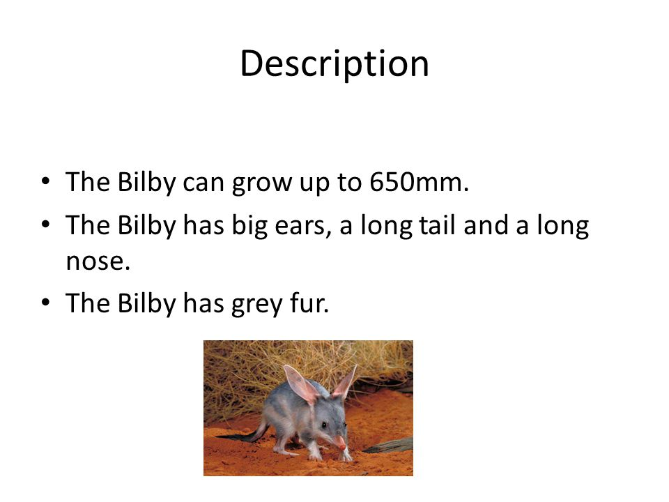Description The Bilby can grow up to 650mm.