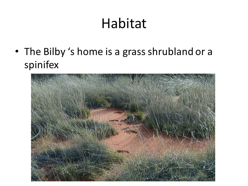 Habitat The Bilby 's home is a grass shrubland or a spinifex