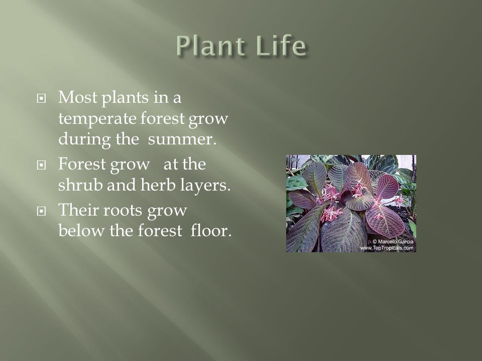Plant Life Most plants in a temperate forest grow during the summer.