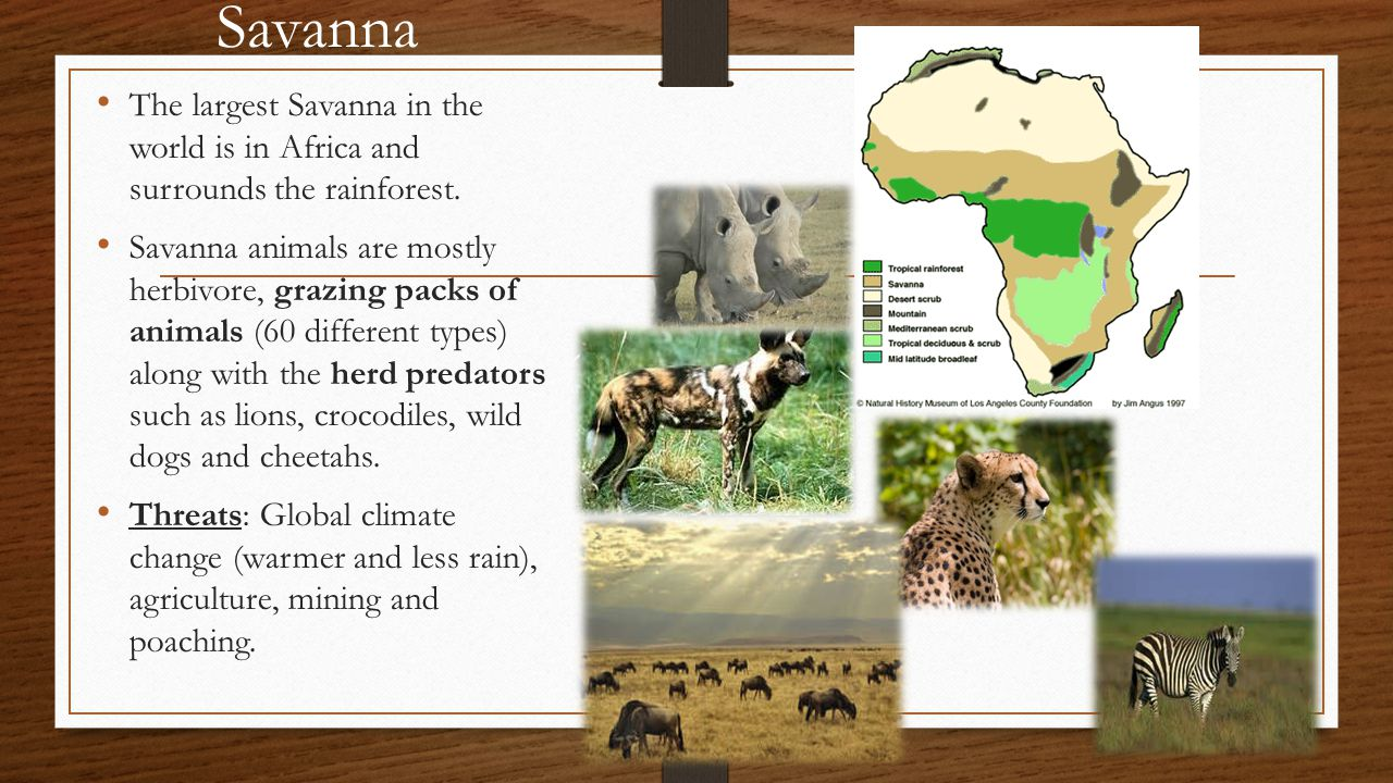 Savanna The largest Savanna in the world is in Africa and surrounds the rainforest.