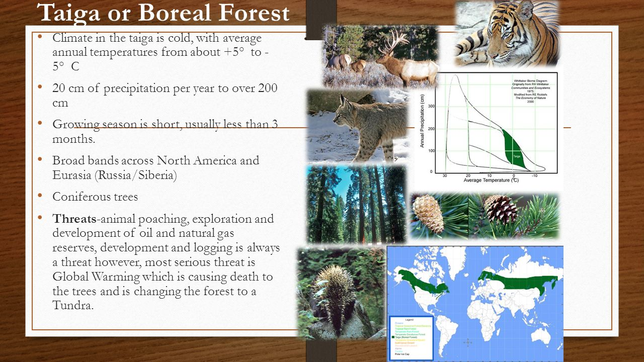 Taiga or Boreal Forest Climate in the taiga is cold, with average annual temperatures from about +5° to - 5° C.