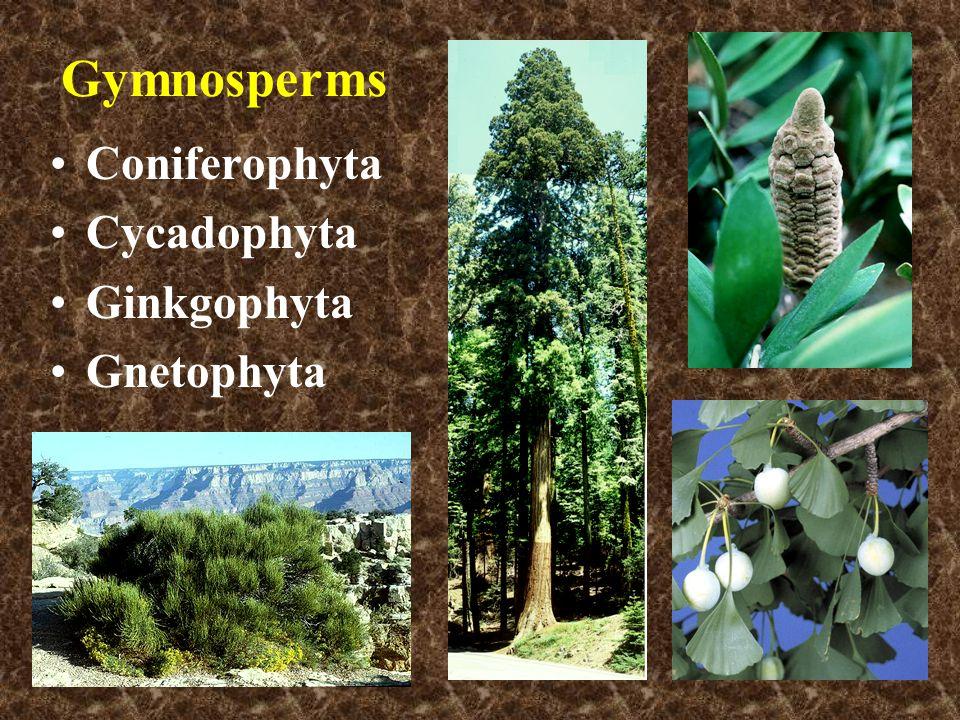 Gymnosperms Coniferophyta Cycadophyta Ginkgophyta Gnetophyta