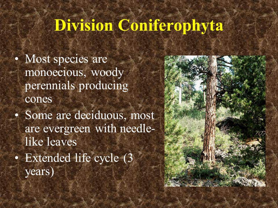 Division Coniferophyta