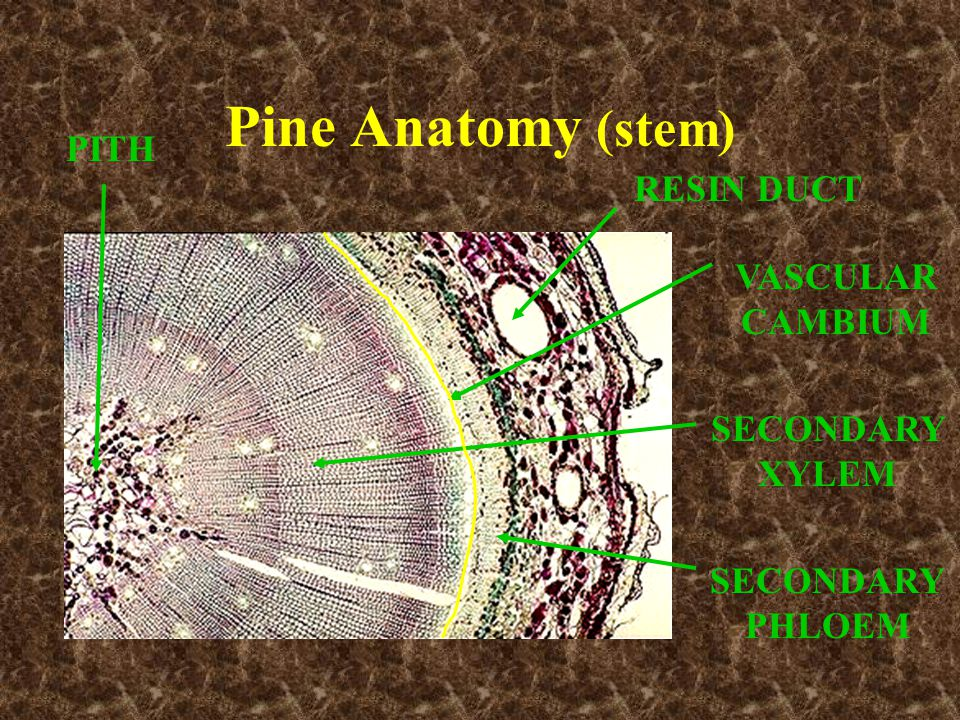 Pine Anatomy (stem) PITH RESIN DUCT VASCULAR CAMBIUM SECONDARY XYLEM