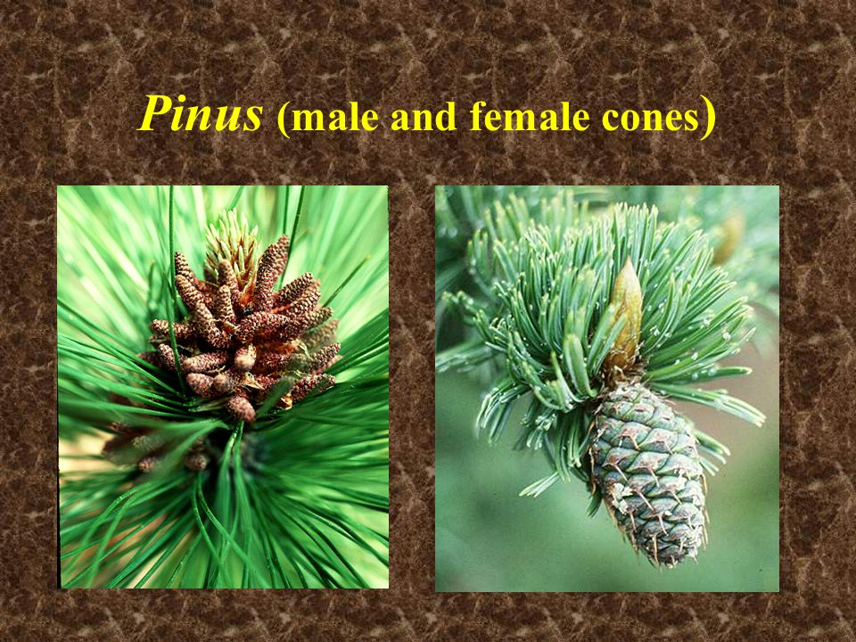 Pinus (male and female cones)