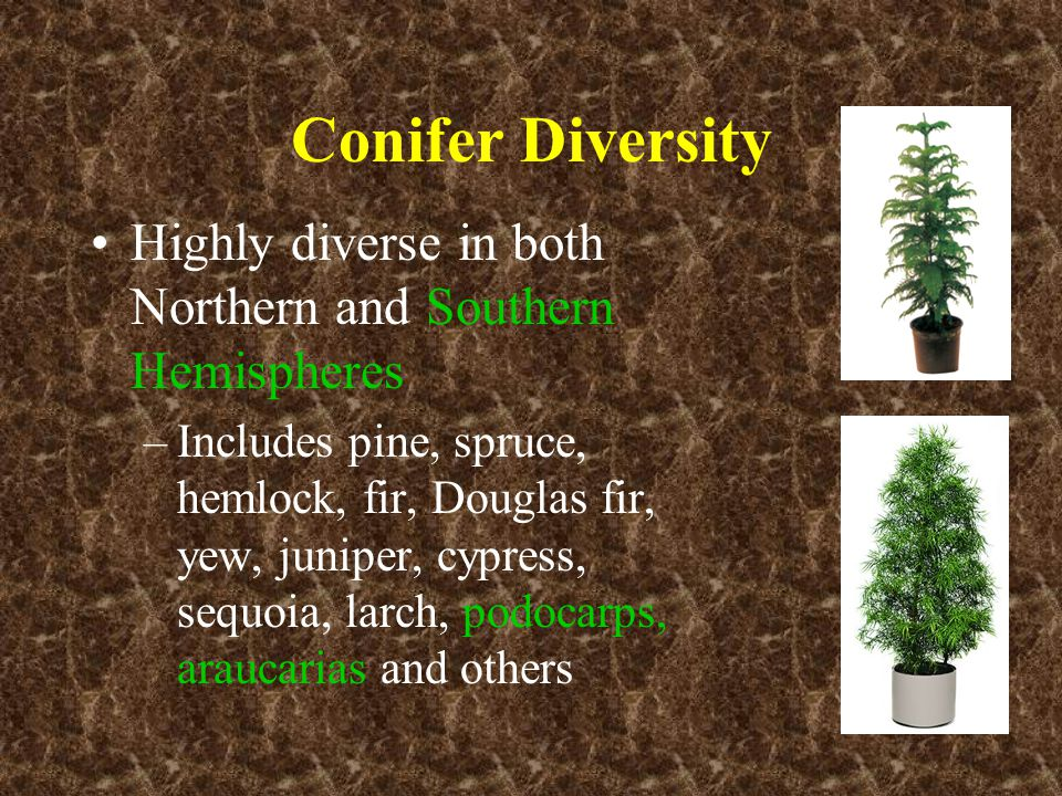 Conifer Diversity Highly diverse in both Northern and Southern Hemispheres.