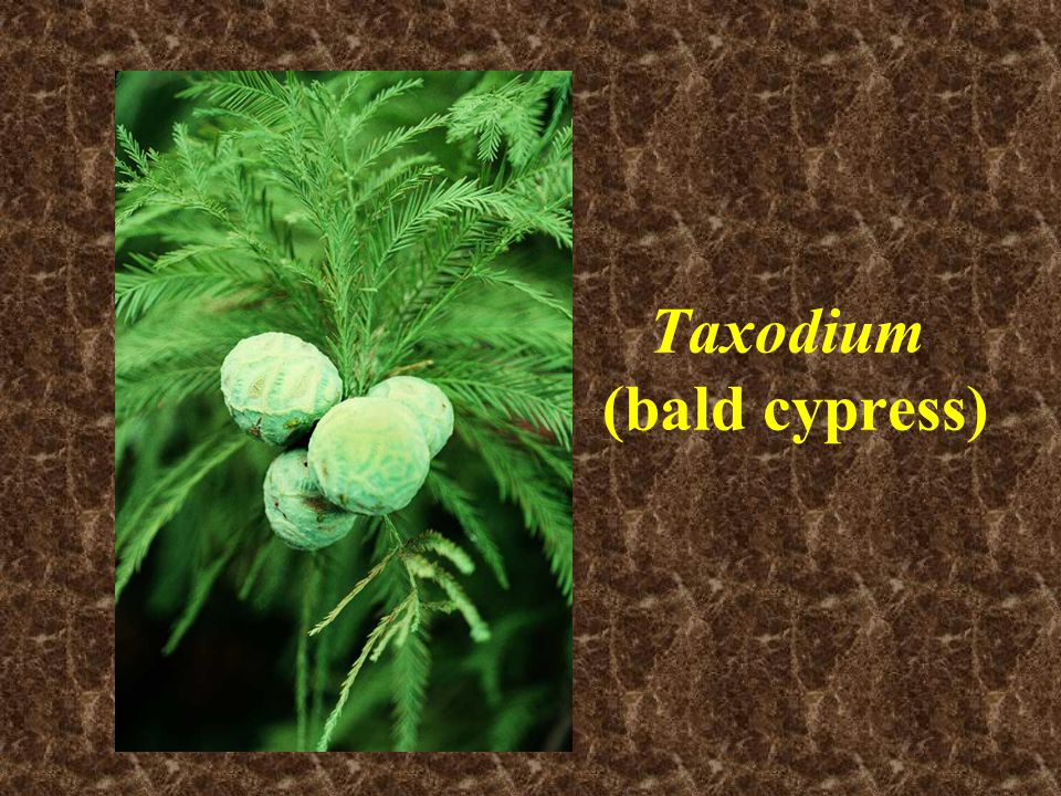 Taxodium (bald cypress)